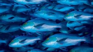 foto_pesce_azzurro