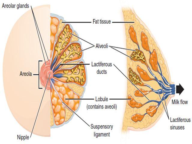 seno in gravidanza