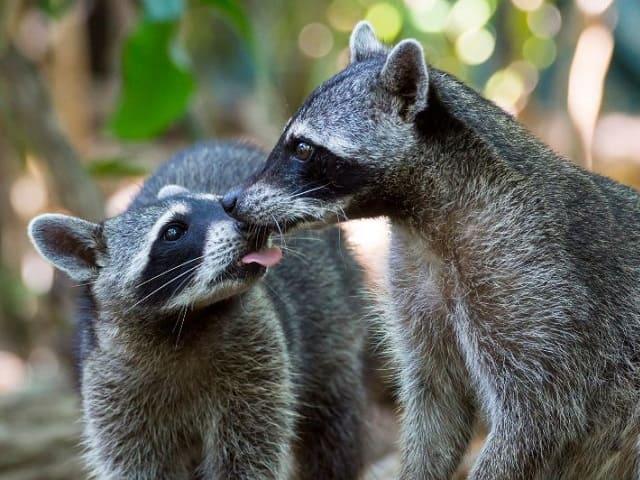 foto animali bacio