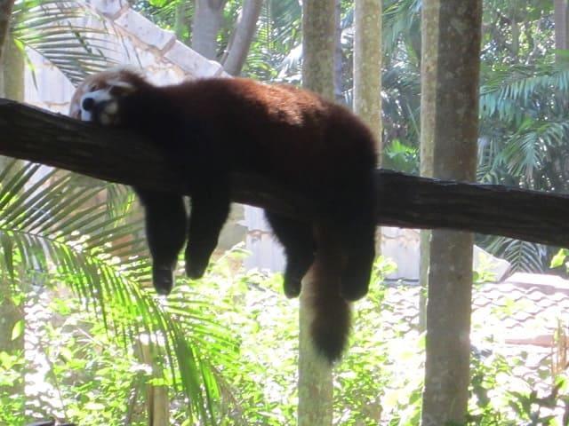 foto panda