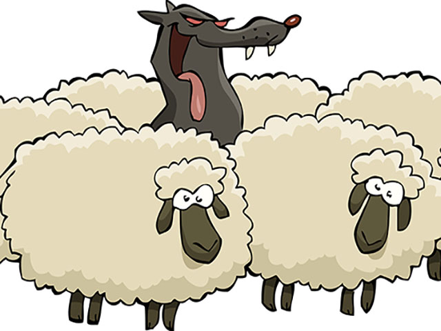 Foto lupo fra le pecore